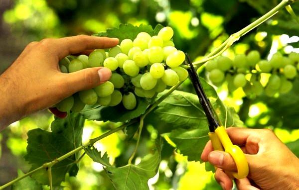 Неповторимая индивидуальность Азербайджанских вин